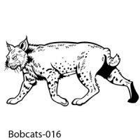 Web Bobcats-Wildcats